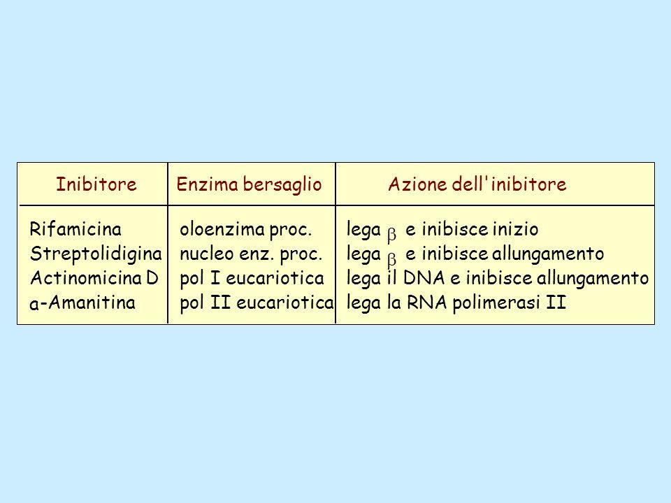 InibitoreEnzima bersaglio. Azione dell inibitore. Rifamicina. Streptolidigina. Actinomicina D. a. -Amanitina.