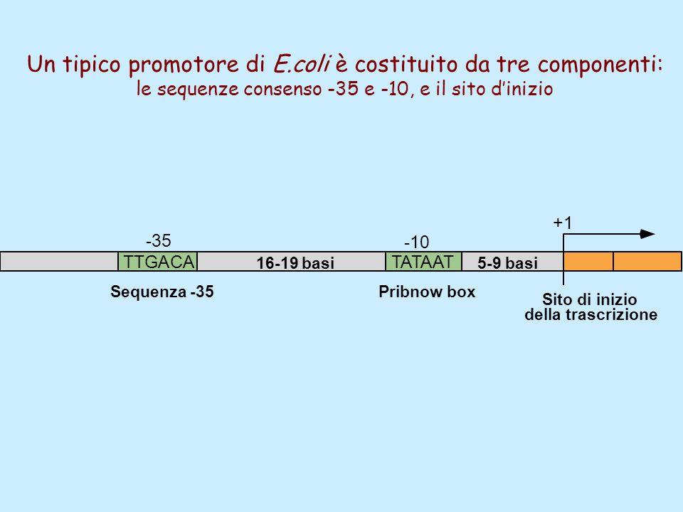 Un tipico promotore di E.coli è costituito da tre componenti: