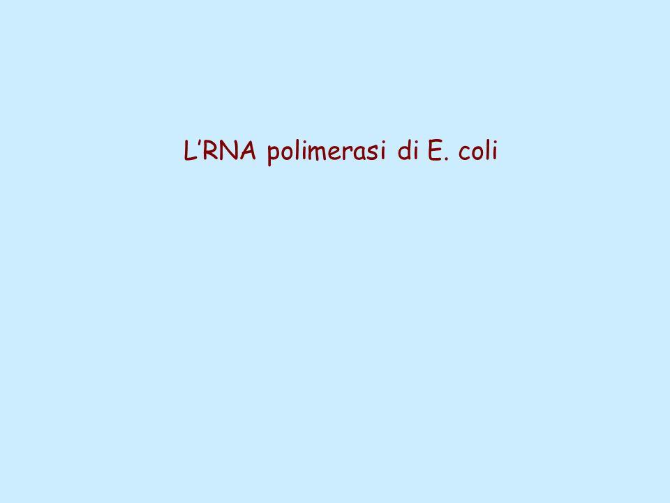 L'RNA polimerasi di E. coli