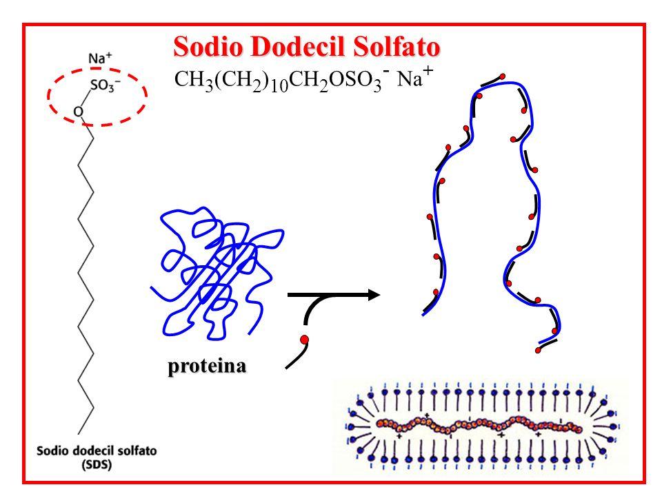 Sodio Dodecil Solfato CH3(CH2)10CH2OSO3- Na+ proteina