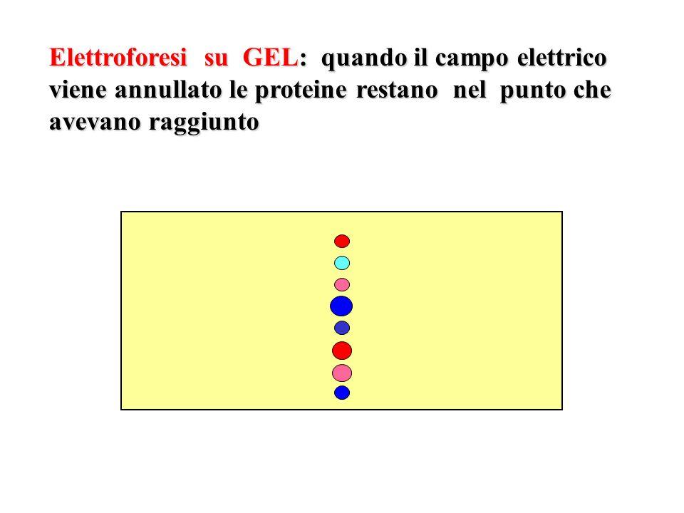 Elettroforesi su GEL: quando il campo elettrico viene annullato le proteine restano nel punto che avevano raggiunto