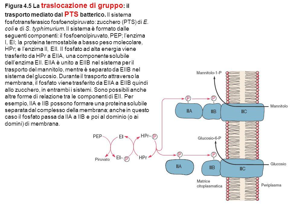 Figura 4.5 La traslocazione di gruppo: il trasporto mediato dal PTS batterico.