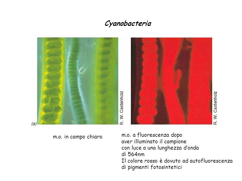 Cyanobacteria m.o. a fluorescenza dopo m.o. in campo chiaro