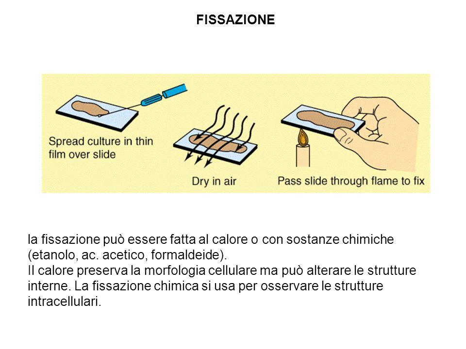 FISSAZIONE la fissazione può essere fatta al calore o con sostanze chimiche (etanolo, ac. acetico, formaldeide).