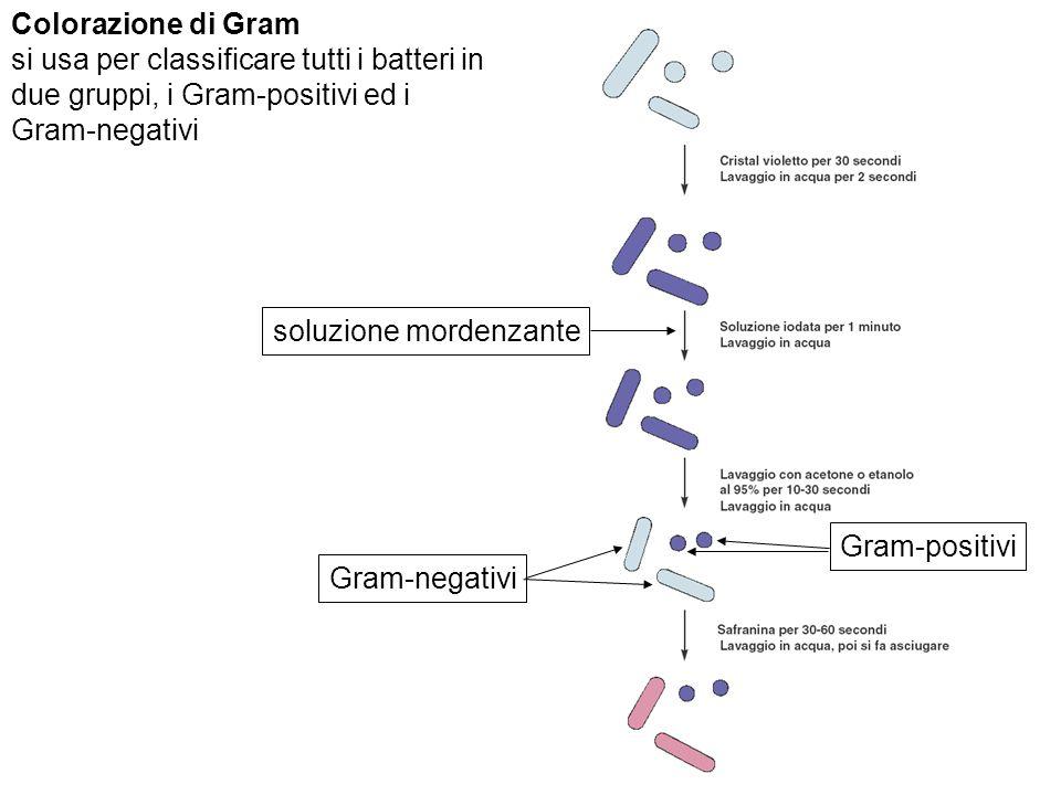 Colorazione di Gram si usa per classificare tutti i batteri in. due gruppi, i Gram-positivi ed i. Gram-negativi.