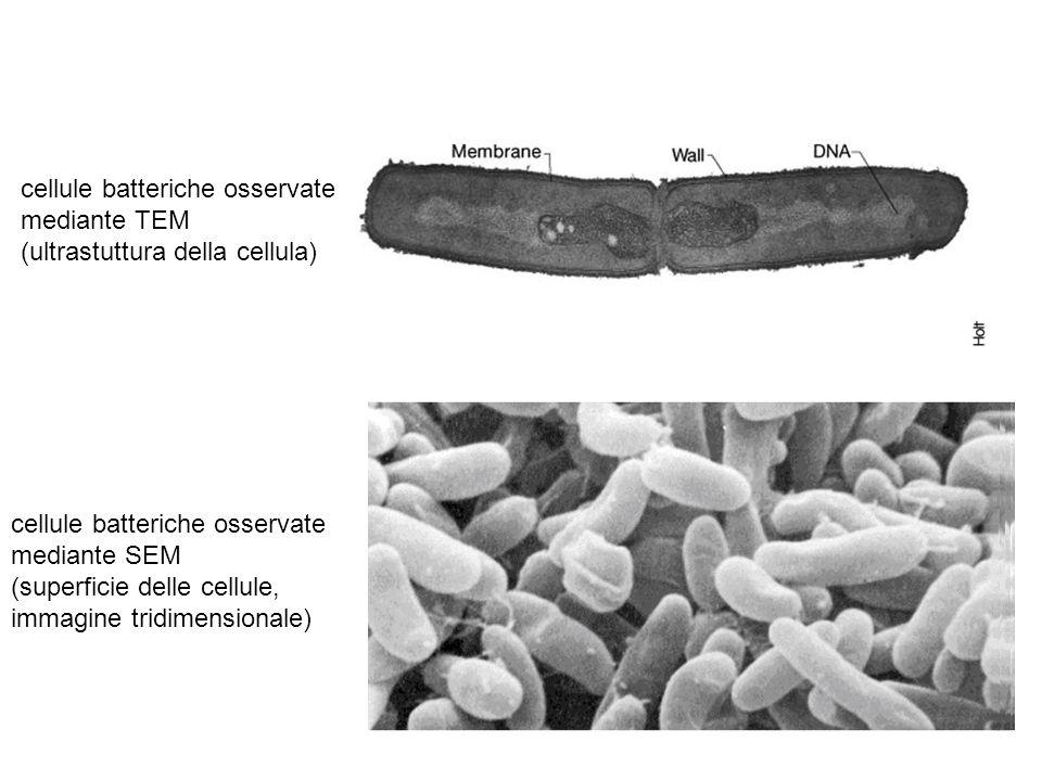 cellule batteriche osservate