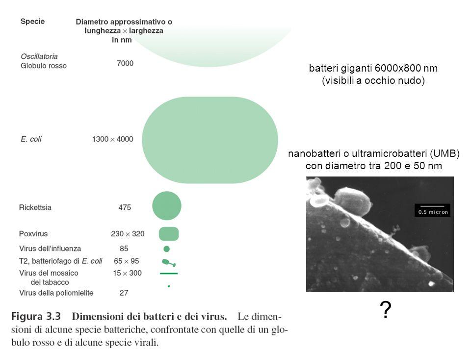 batteri giganti 6000x800 nm (visibili a occhio nudo)