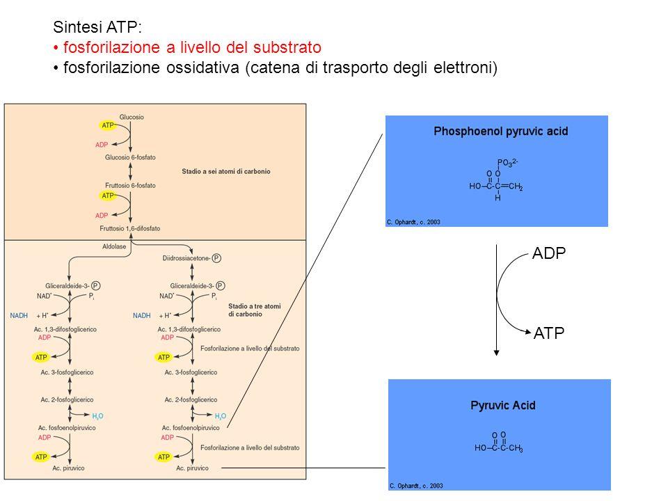 Sintesi ATP: fosforilazione a livello del substrato. fosforilazione ossidativa (catena di trasporto degli elettroni)