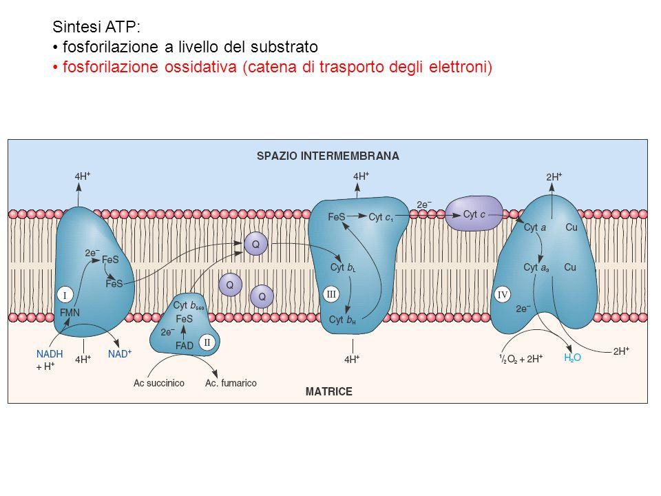 Sintesi ATP: fosforilazione a livello del substrato.
