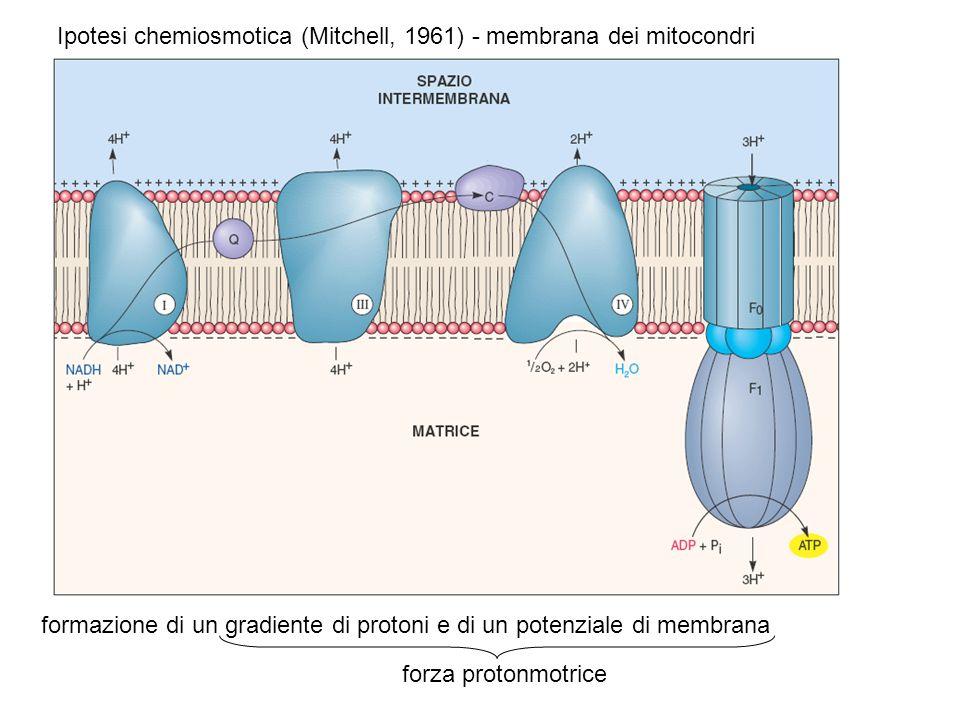 Ipotesi chemiosmotica (Mitchell, 1961) - membrana dei mitocondri