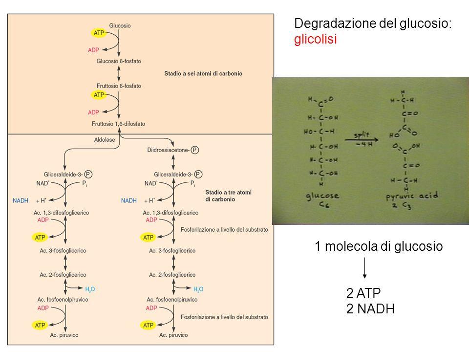 Degradazione del glucosio: