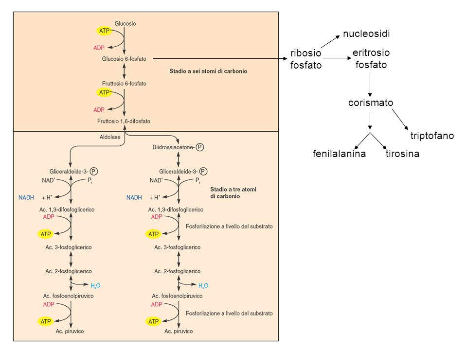 nucleosidi ribosio fosfato eritrosio fosfato corismato triptofano fenilalanina tirosina