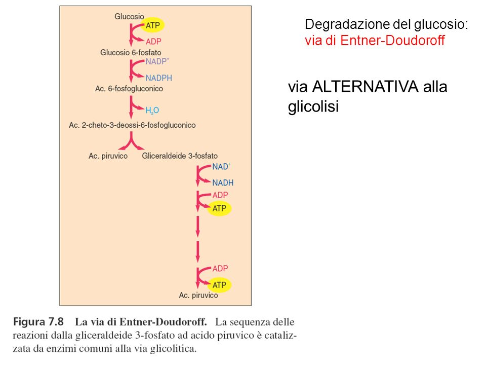 via ALTERNATIVA alla glicolisi