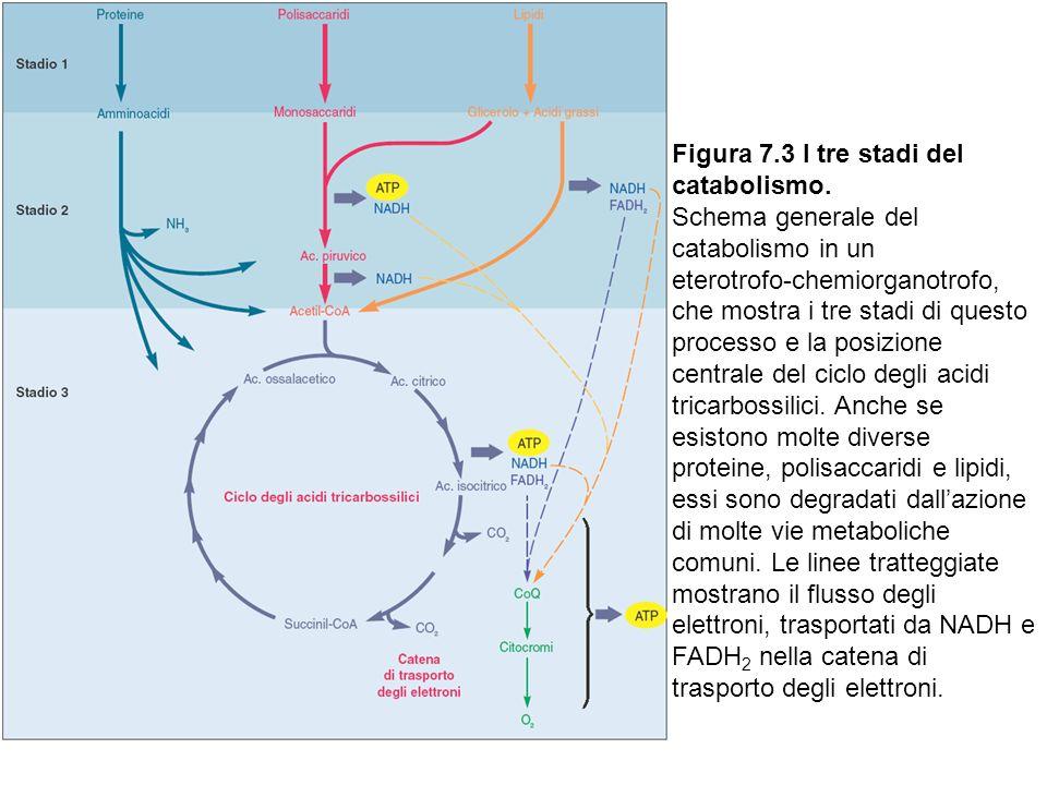 Figura 7.3 I tre stadi del catabolismo.