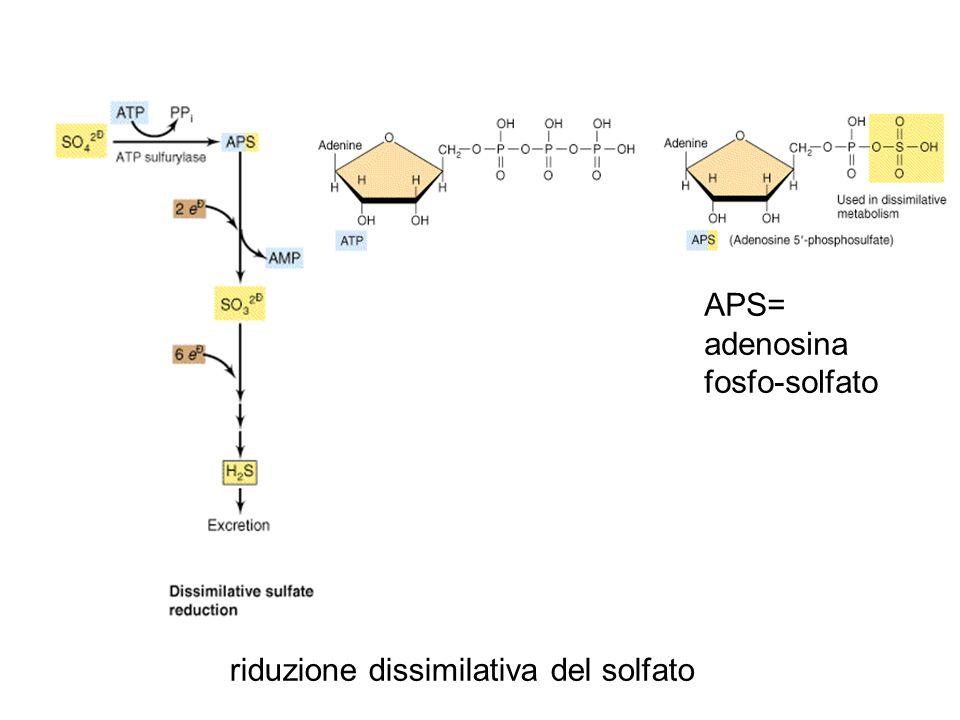 APS= adenosina fosfo-solfato