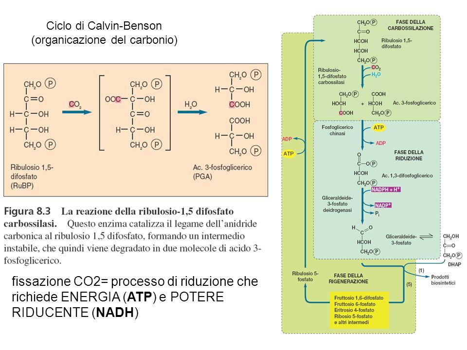 Ciclo di Calvin-Benson