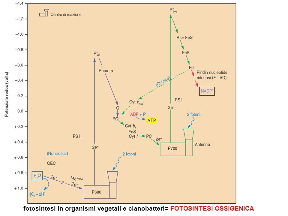 fotosintesi in organismi vegetali e cianobatteri= FOTOSINTESI OSSIGENICA
