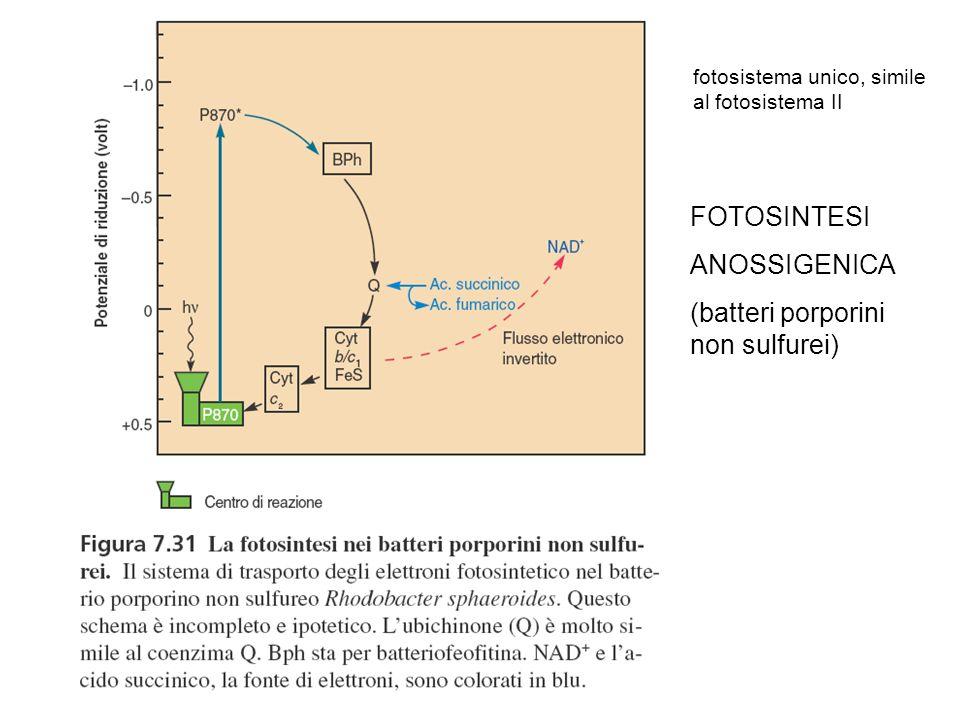 (batteri porporini non sulfurei)