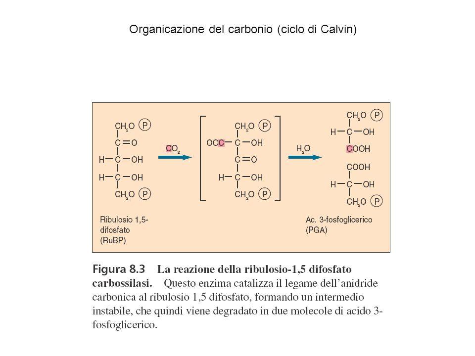 Organicazione del carbonio (ciclo di Calvin)