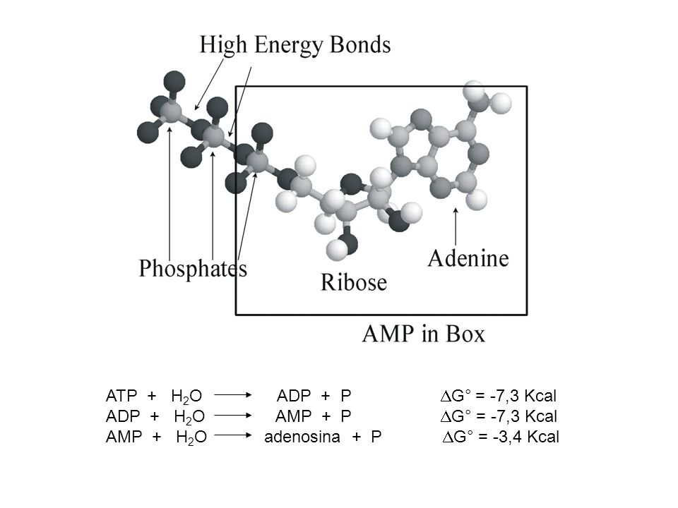 ATP + H2O ADP + P G° = -7,3 Kcal