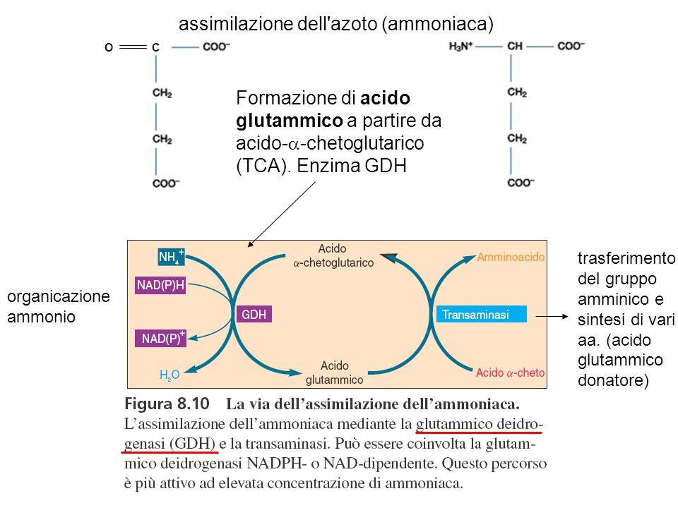 assimilazione dell azoto (ammoniaca)