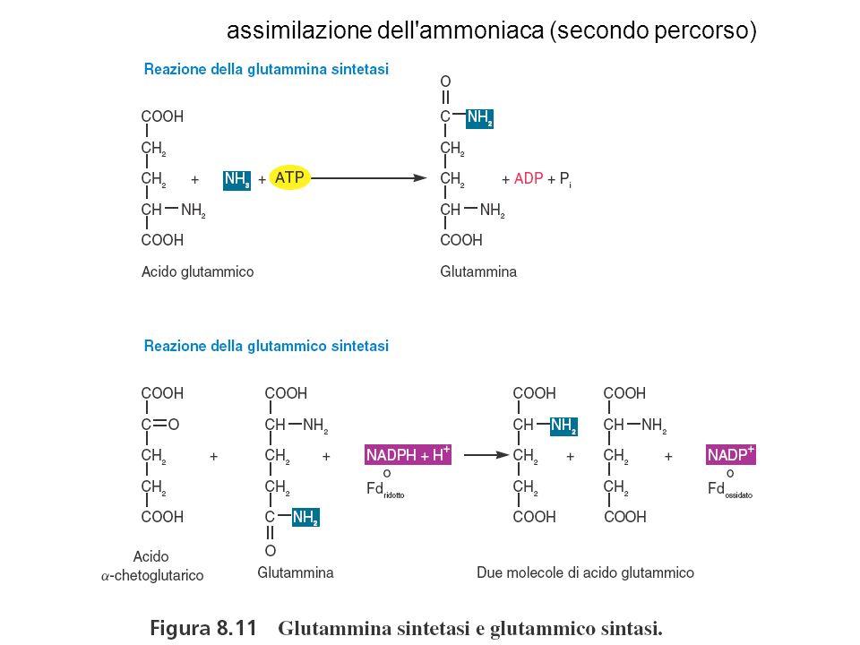assimilazione dell ammoniaca (secondo percorso)