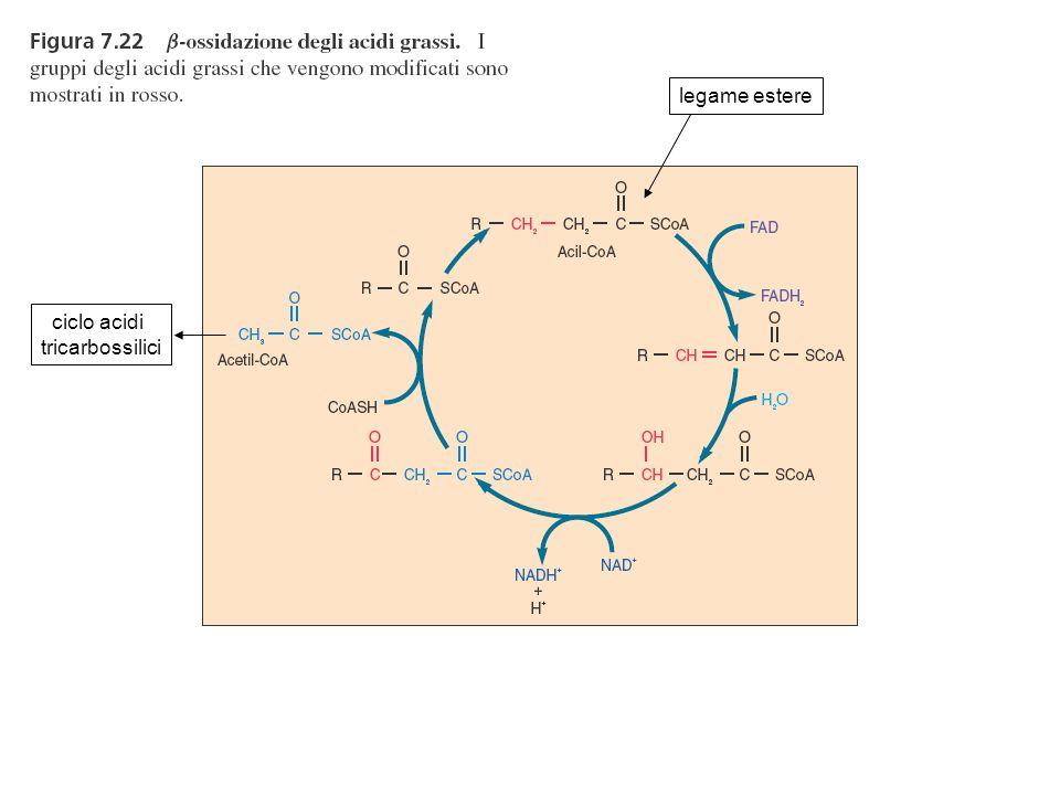 legame estere ciclo acidi tricarbossilici