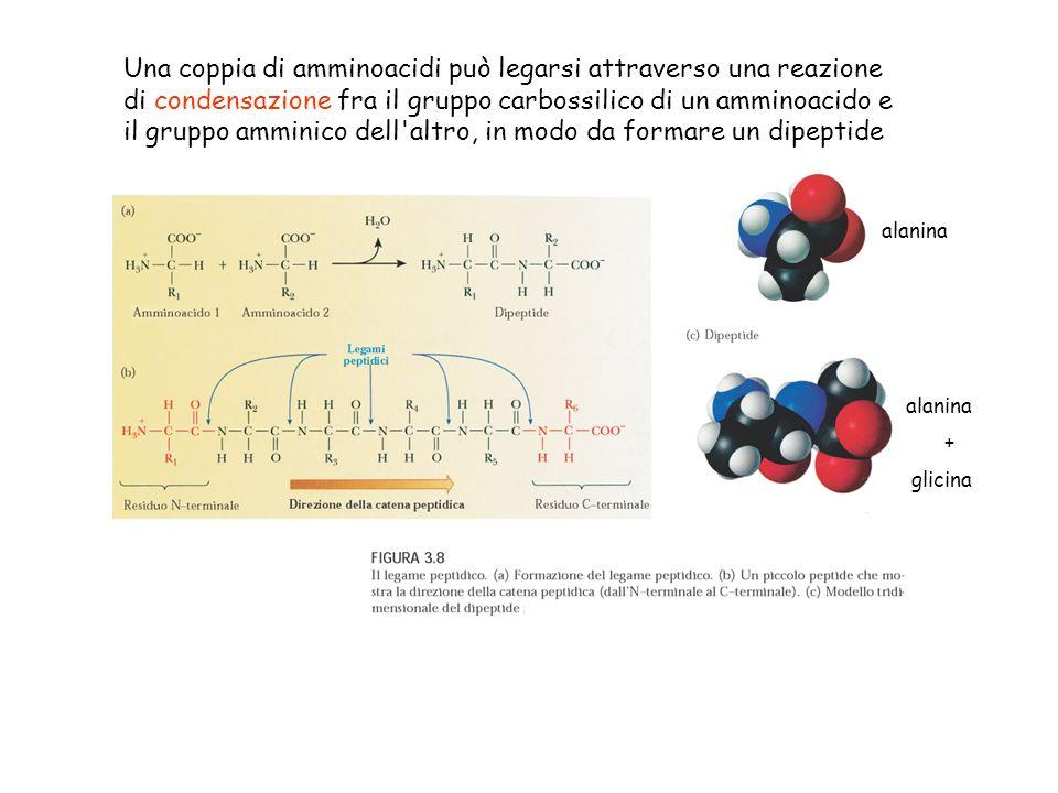Una coppia di amminoacidi può legarsi attraverso una reazione di condensazione fra il gruppo carbossilico di un amminoacido e il gruppo amminico dell altro, in modo da formare un dipeptide
