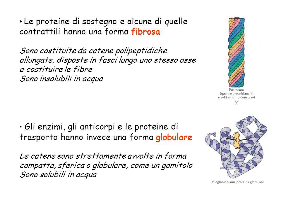 Le proteine di sostegno e alcune di quelle contrattili hanno una forma fibrosa