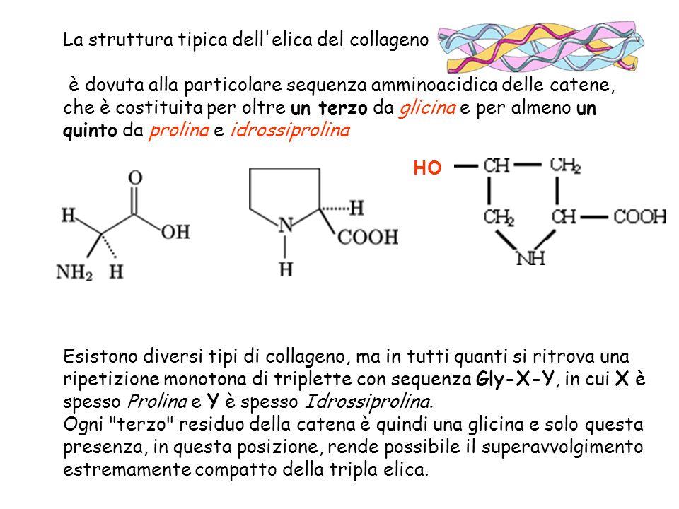 La struttura tipica dell elica del collageno