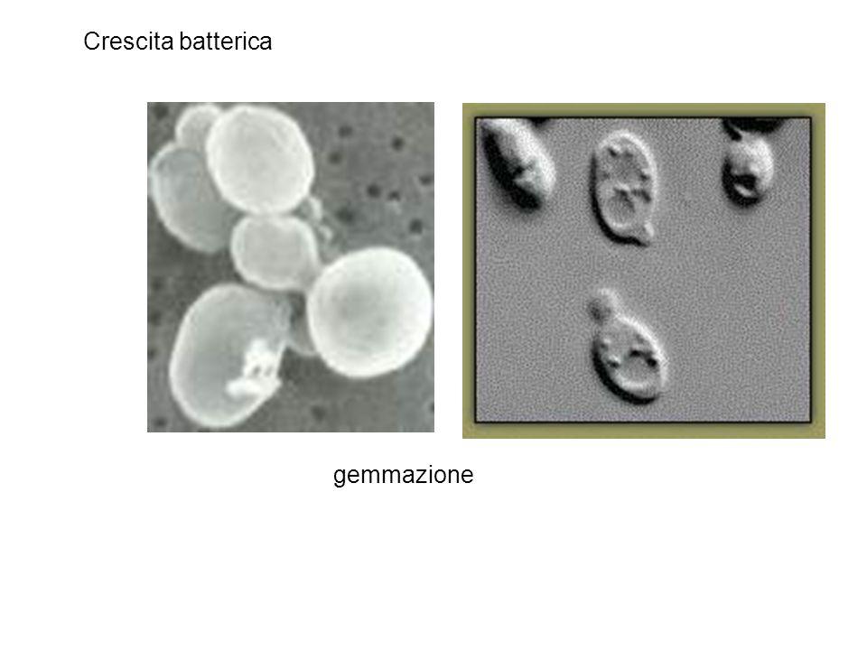 Crescita batterica gemmazione