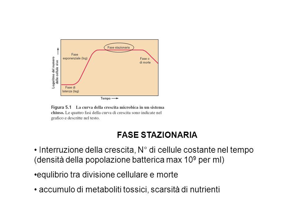FASE STAZIONARIA Interruzione della crescita, N° di cellule costante nel tempo (densità della popolazione batterica max 109 per ml)