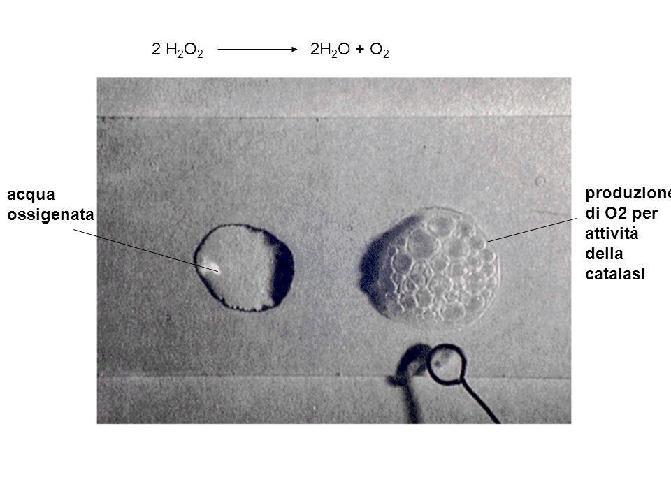 2 H2O2 2H2O + O2 acqua ossigenata.
