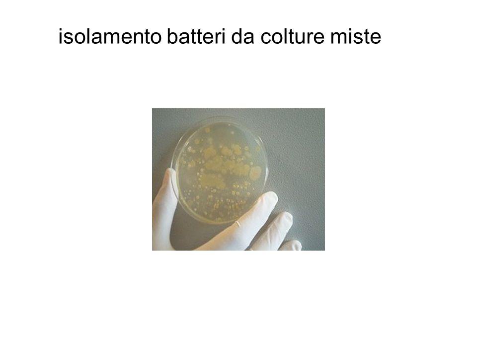 isolamento batteri da colture miste