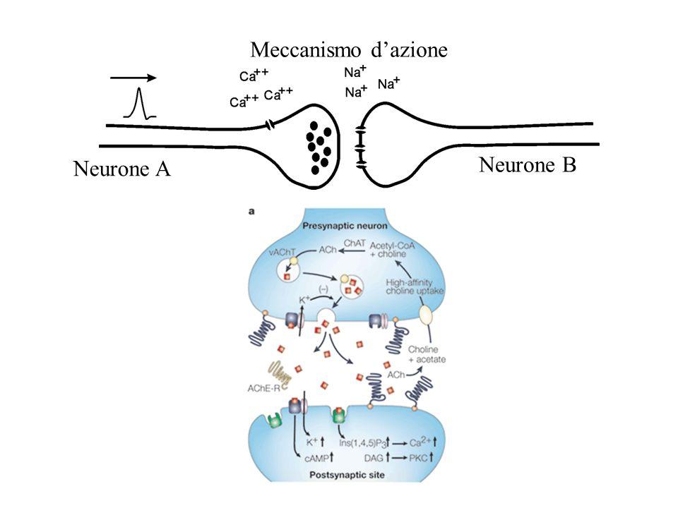Meccanismo d'azione Neurone A Neurone B