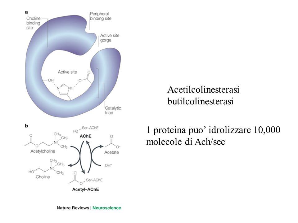 Acetilcolinesterasi butilcolinesterasi 1 proteina puo' idrolizzare 10,000 molecole di Ach/sec