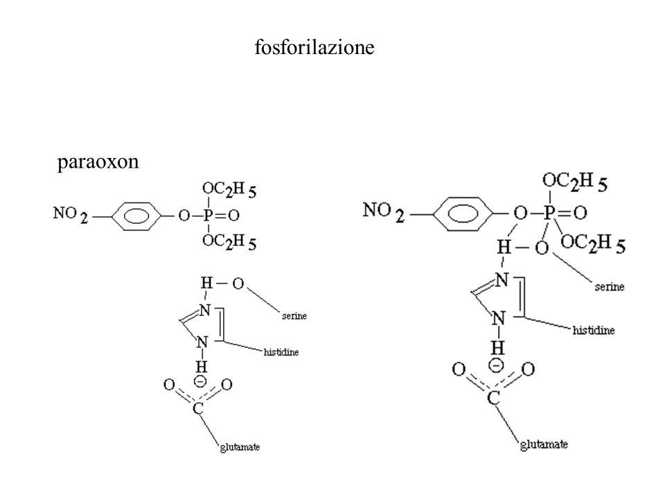 fosforilazione paraoxon