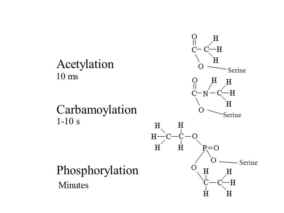 Acetylation Carbamoylation Phosphorylation 10 ms 1-10 s Minutes Serine