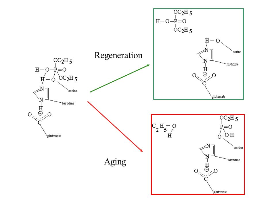 Regeneration Aging