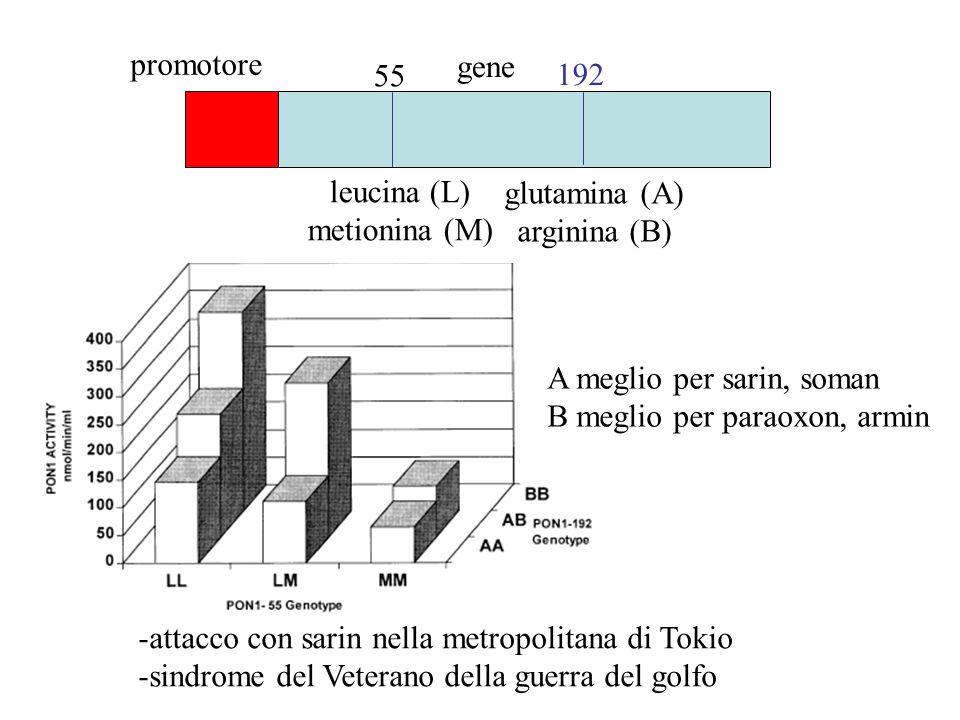 promotore gene. 55. 192. leucina (L) metionina (M) glutamina (A) arginina (B) A meglio per sarin, soman.
