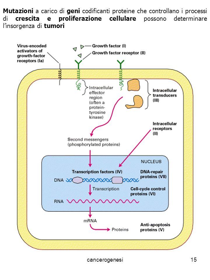 Mutazioni a carico di geni codificanti proteine che controllano i processi di crescita e proliferazione cellulare possono determinare l'insorgenza di tumori