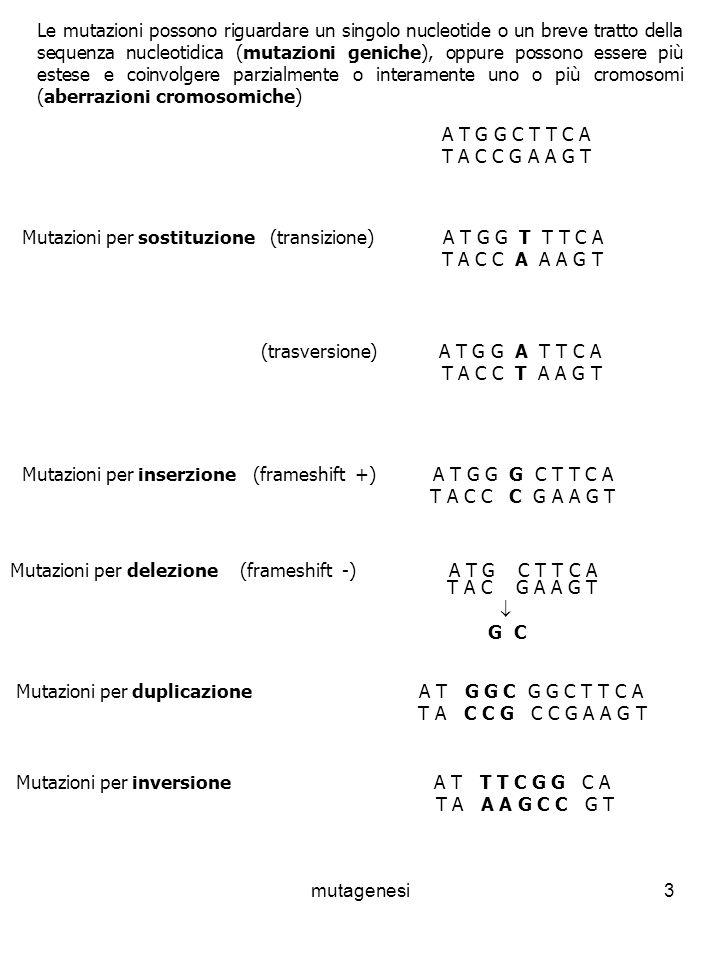 Mutazioni per sostituzione (transizione) A T G G T T T C A