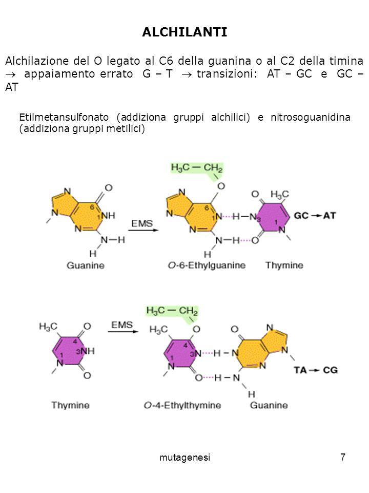 ALCHILANTI Alchilazione del O legato al C6 della guanina o al C2 della timina  appaiamento errato G – T  transizioni: AT – GC e GC – AT.