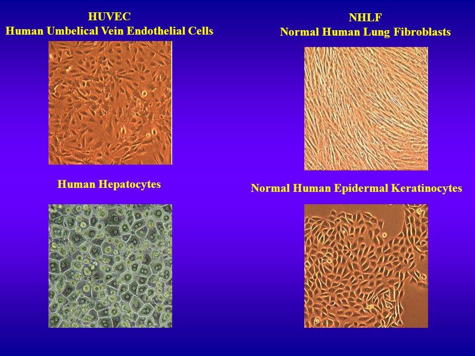 Human Umbelical Vein Endothelial Cells NHLF