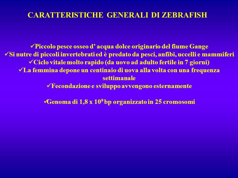 CARATTERISTICHE GENERALI DI ZEBRAFISH