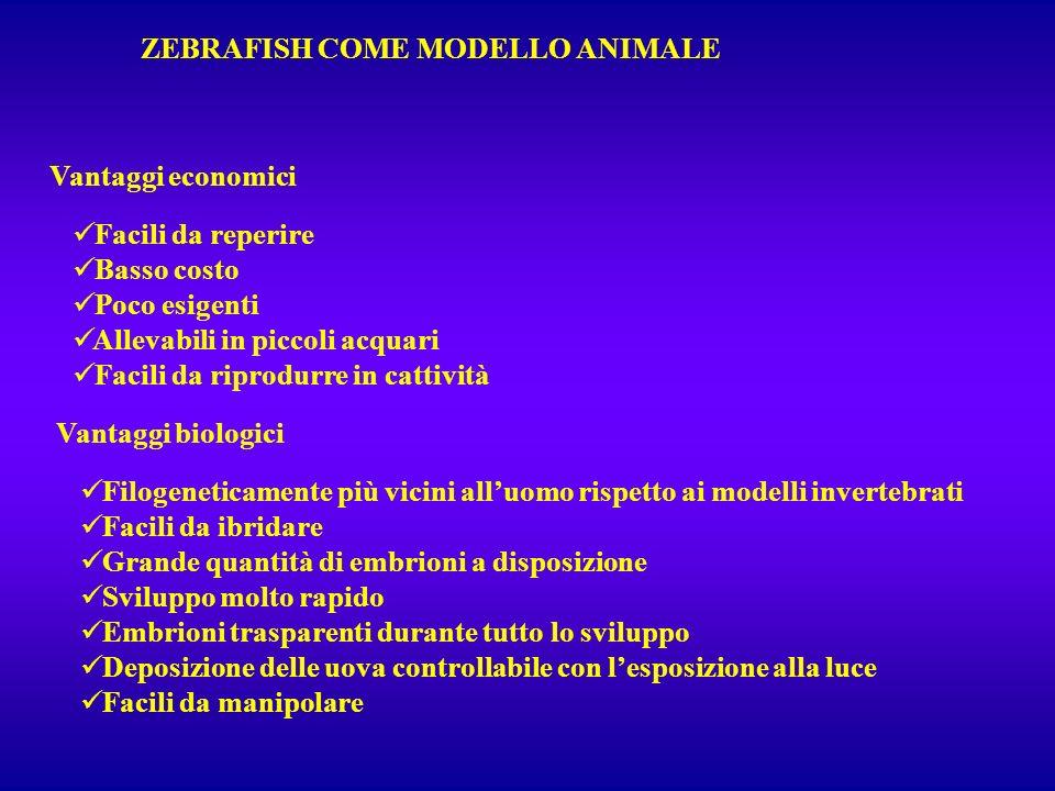 ZEBRAFISH COME MODELLO ANIMALE