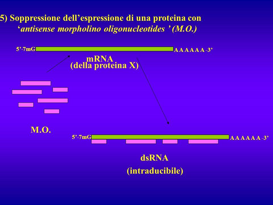 5) Soppressione dell'espressione di una proteina con