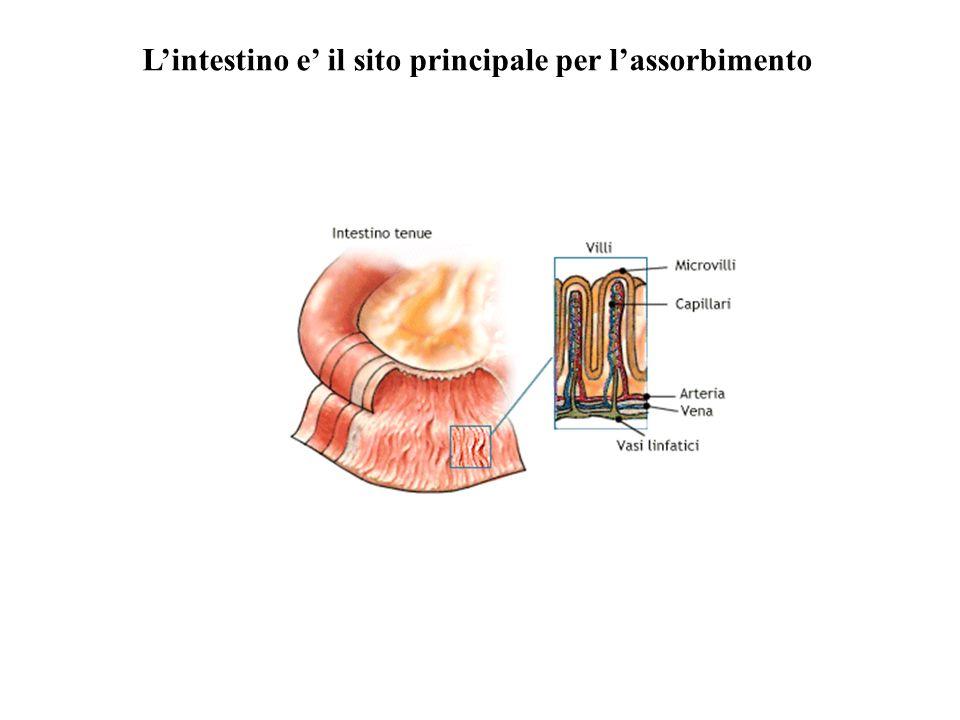 L'intestino e' il sito principale per l'assorbimento
