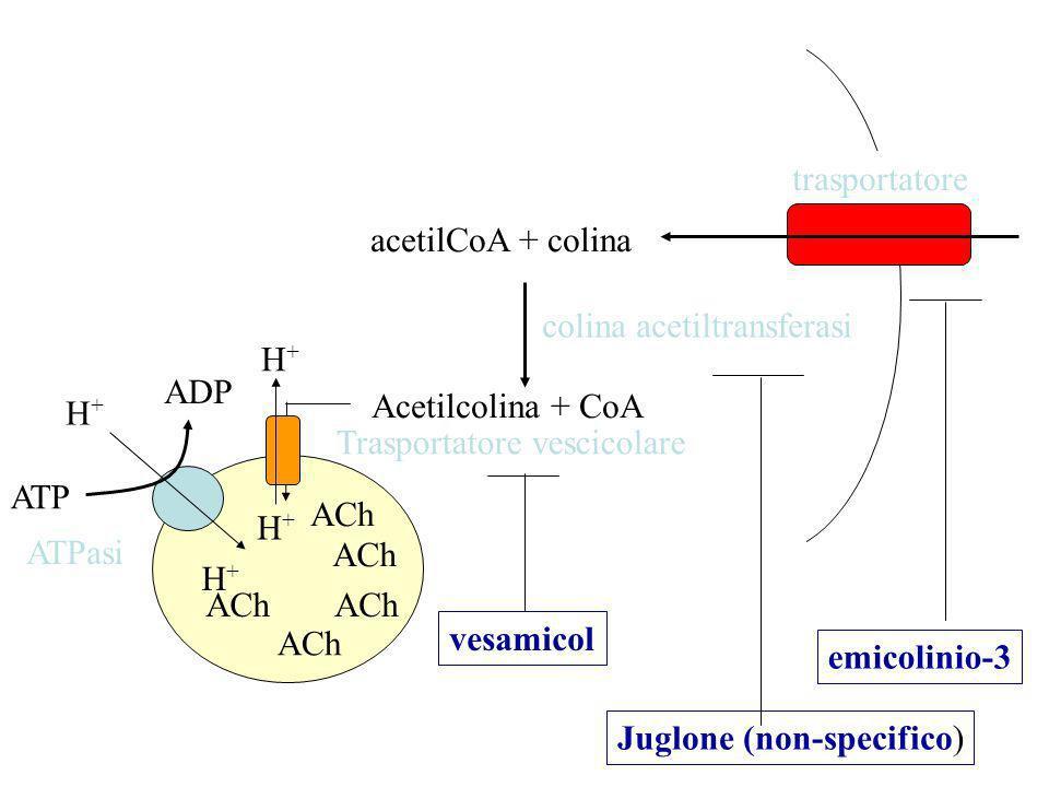 trasportatore acetilCoA + colina. colina acetiltransferasi. H+ ADP. H+ Acetilcolina + CoA. Trasportatore vescicolare.