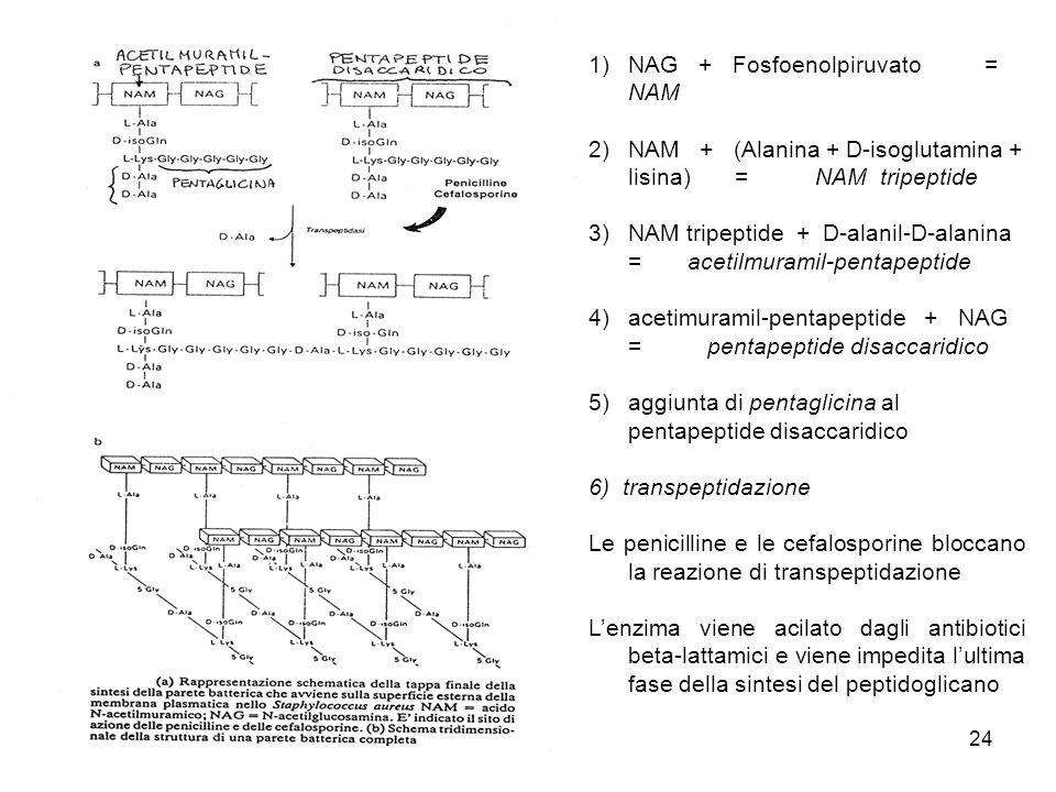 NAG + Fosfoenolpiruvato = NAM